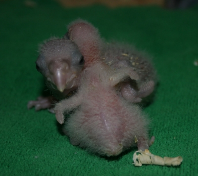 Baby African Gray