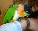 Caique and Blue Front Amazom